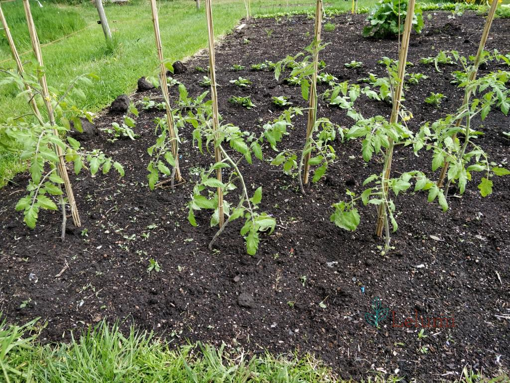Tomato plants, out in the garden.