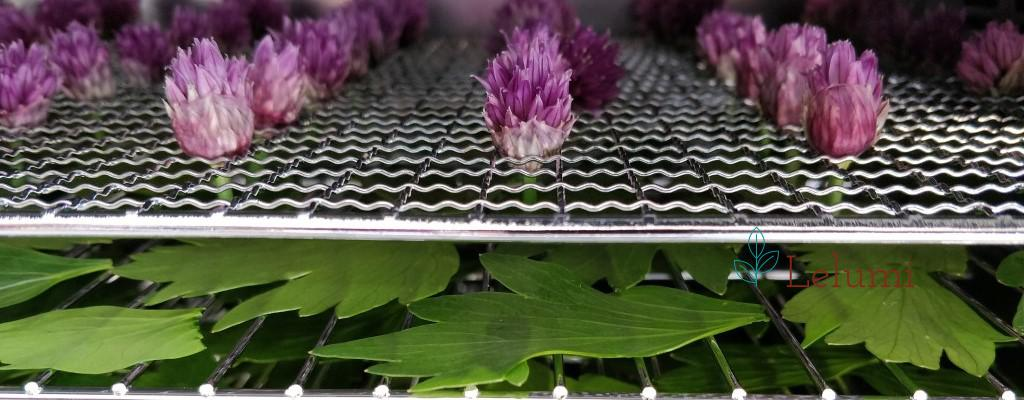 Chives flowers & lovage in the dehydrator