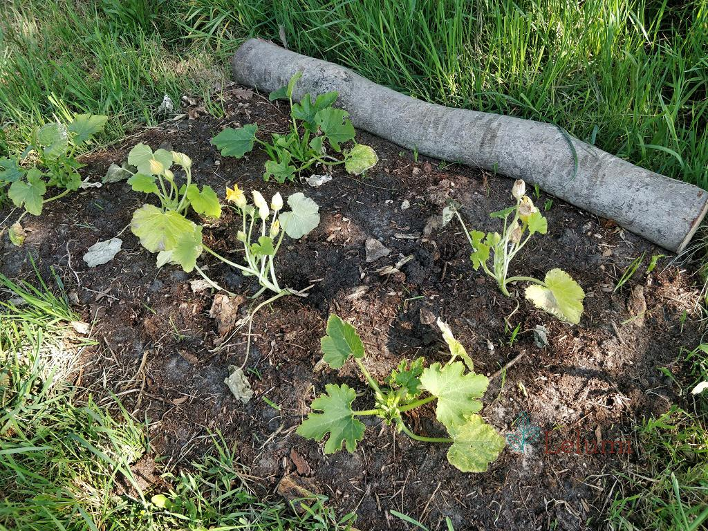 Overview of the small zucchini patch