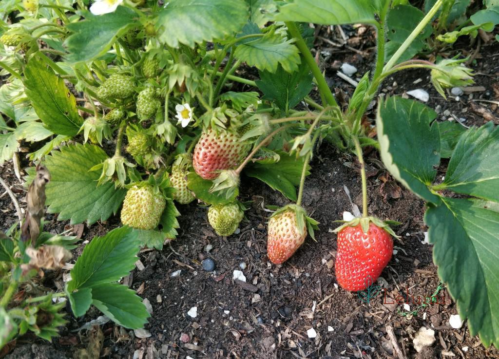 Ripening strawberries!
