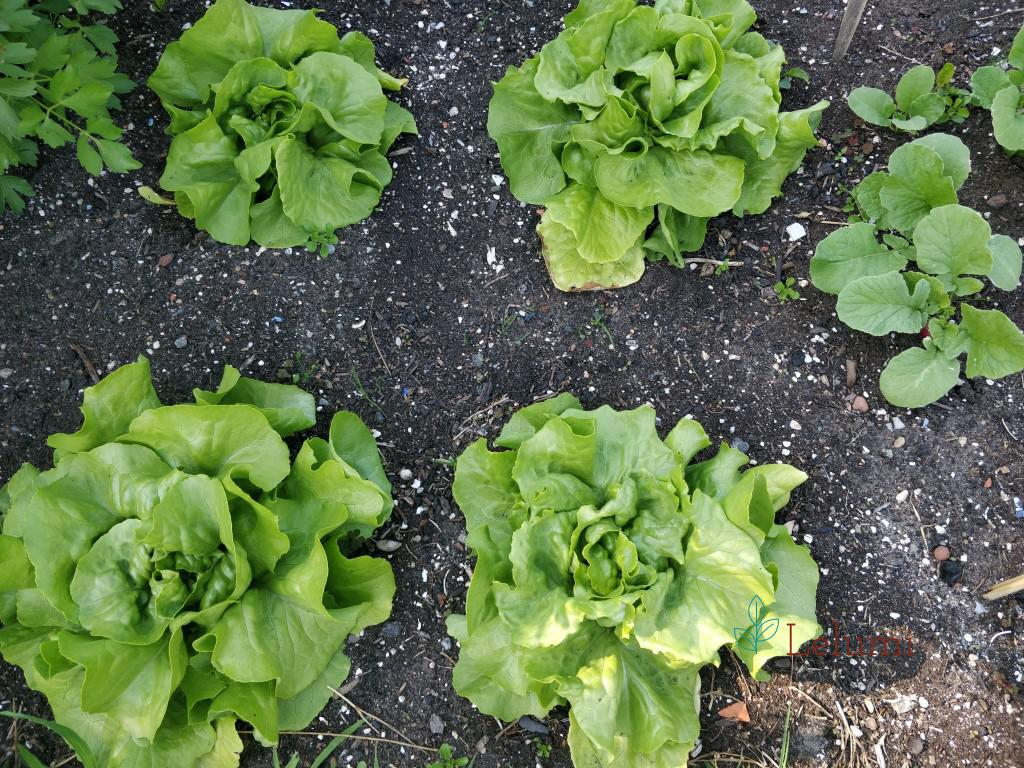 The lettuce is almost ready for harvest... : )