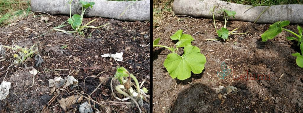 Replacing zucchini plants