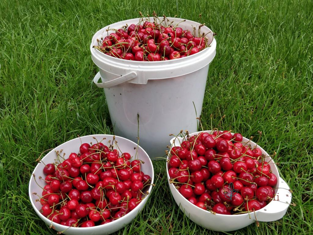 Harvested cherries