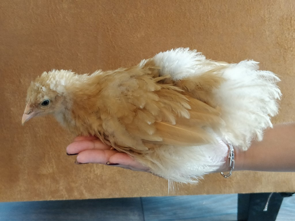 Orpington chick, 38 days old